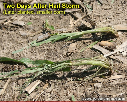 corn stalk after hail storm