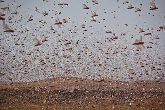 madagascar-locust-DSCN9227